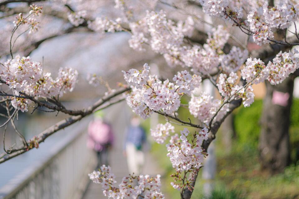 遊歩道を歩く人と桜