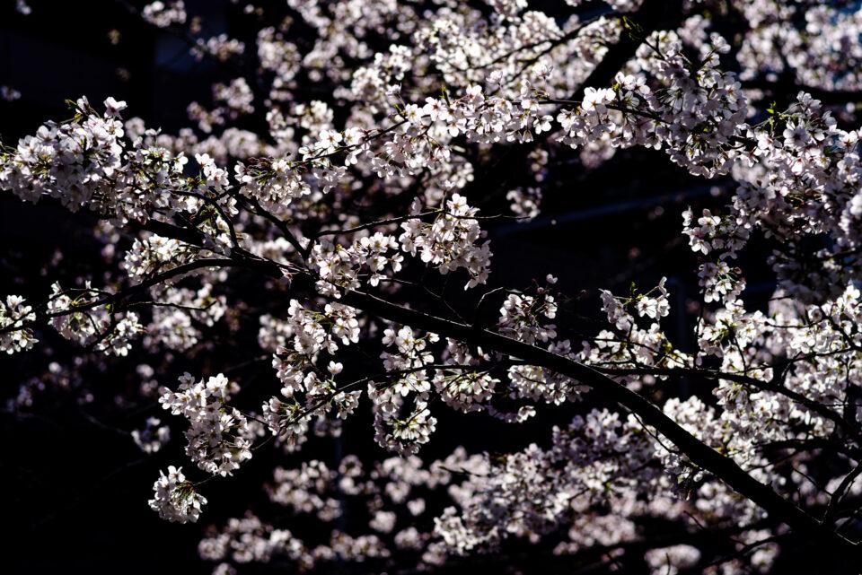 ハイコントラストな桜