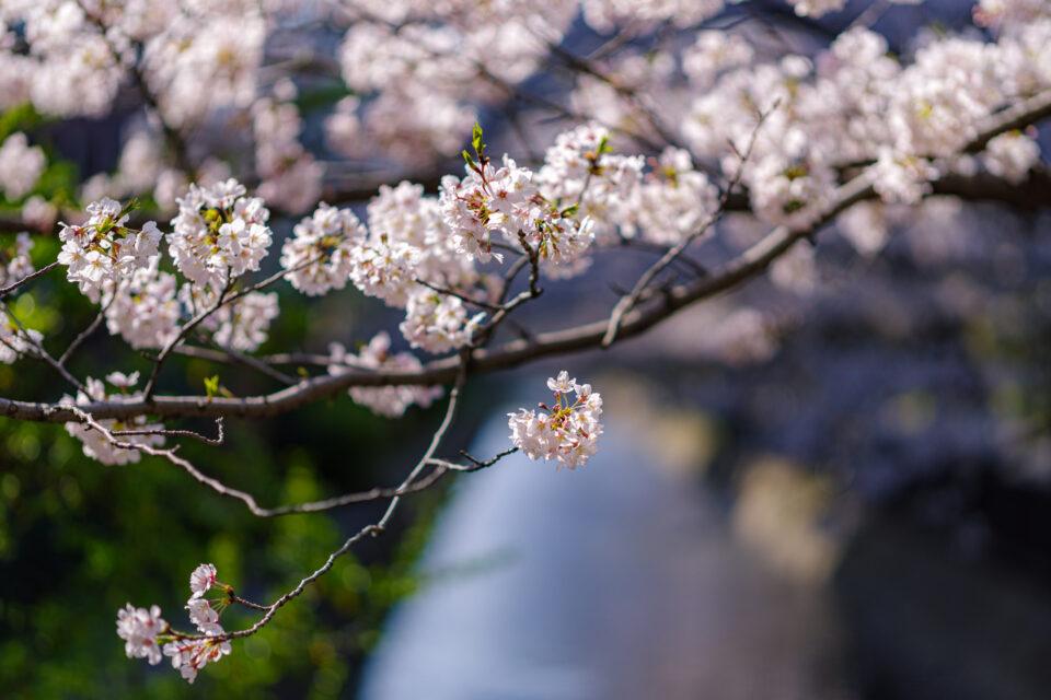 親水公園の桜