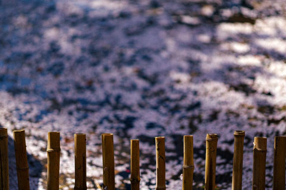 竹の柵と花筏