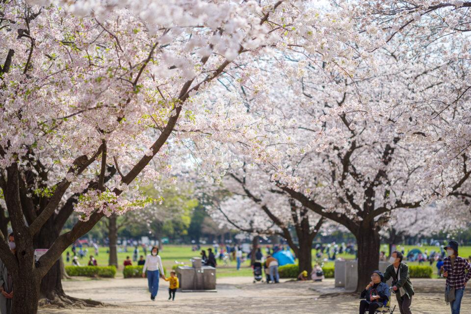 バーベキュー広場の桜