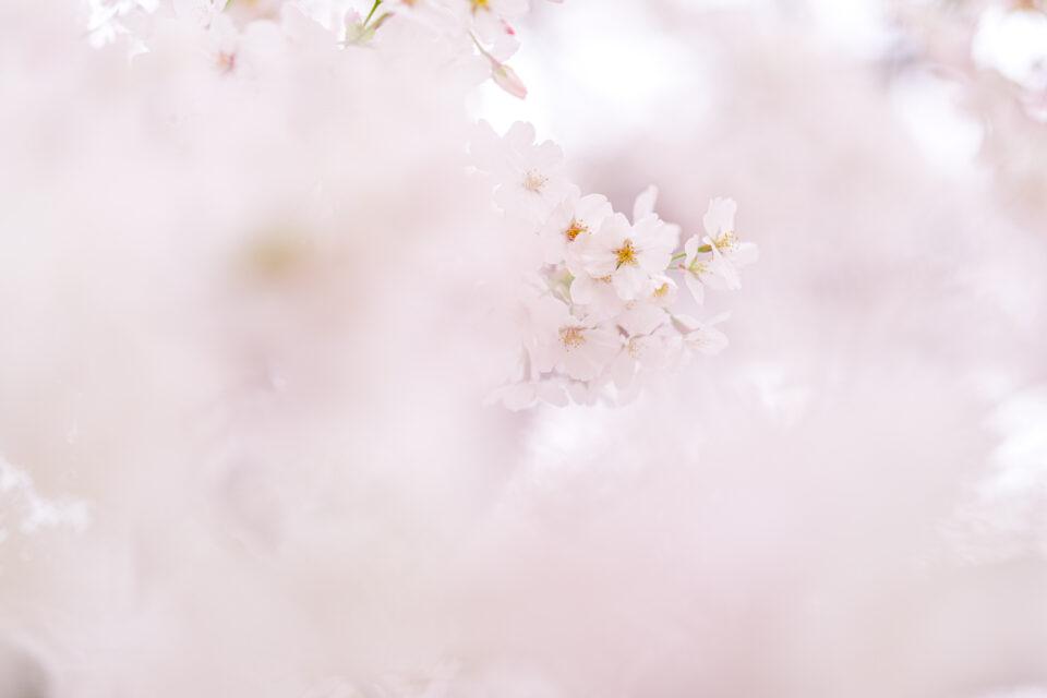 前ボケに埋もれる桜