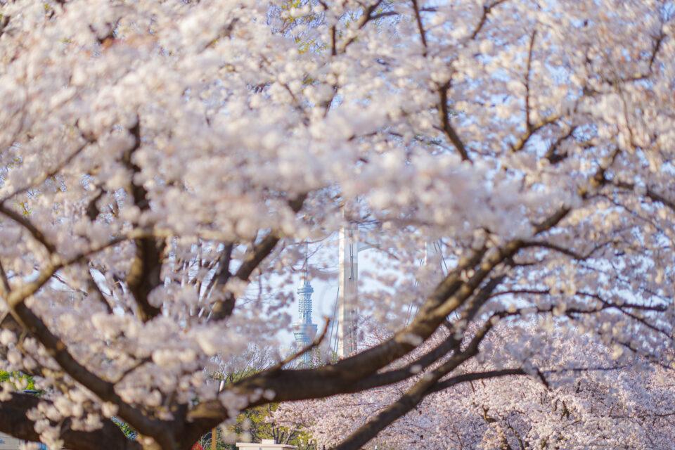桜の隙間から東京スカイツリー
