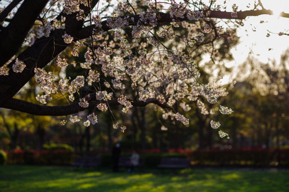 夕陽の逆光に照らされる桜