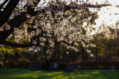 木場公園の夕暮れの桜 2021