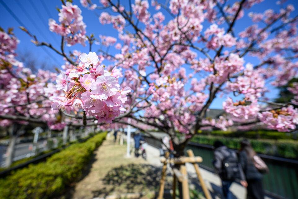 超広角の河津桜