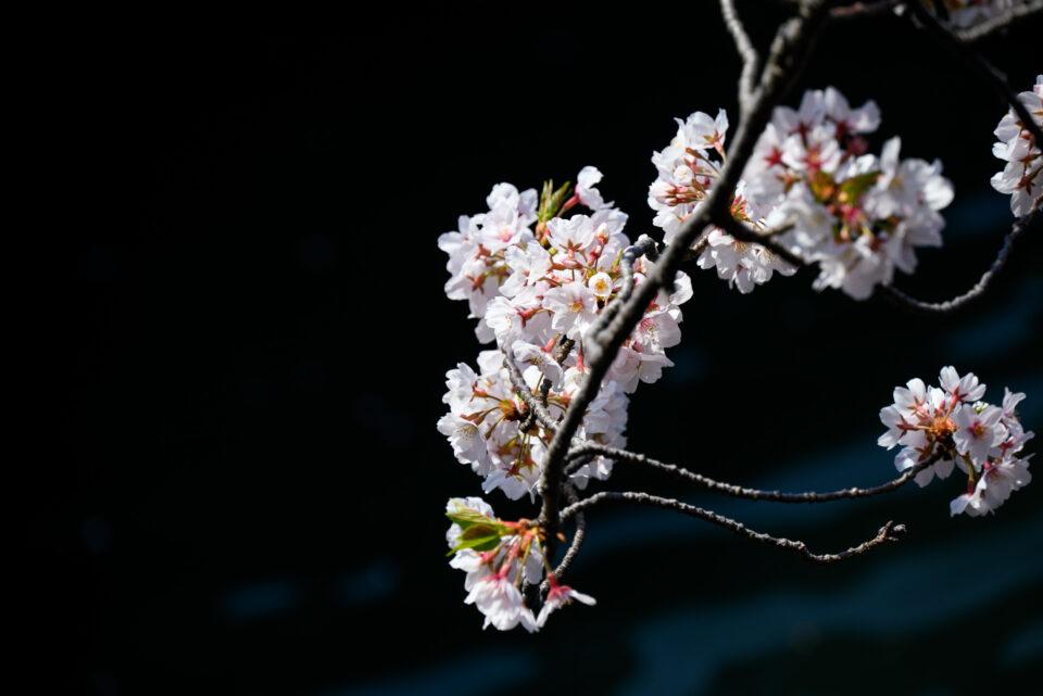 黒バックの桜