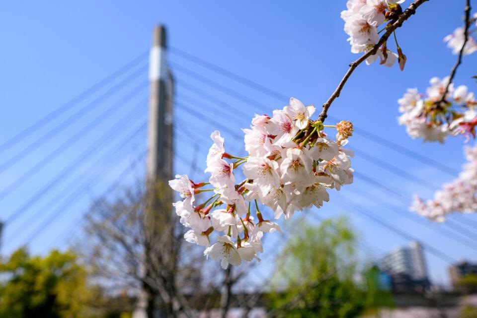 木場公園大橋と桜