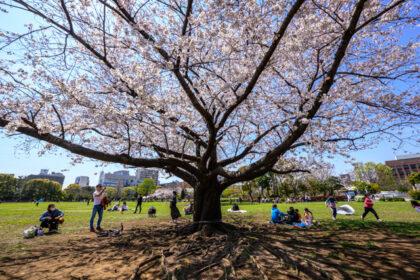 木場公園の桜 by Z5