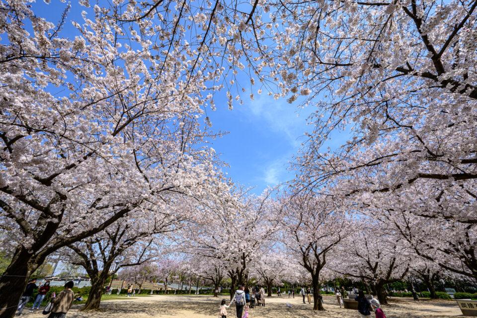 木場公園BBQ広場の桜