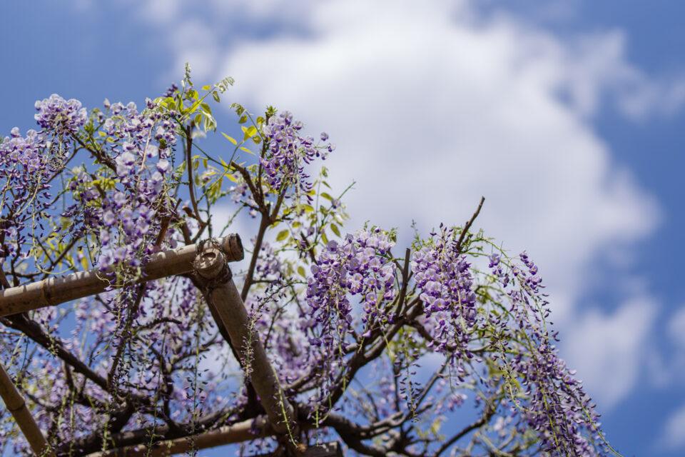 亀戸天神の藤と雲と青空
