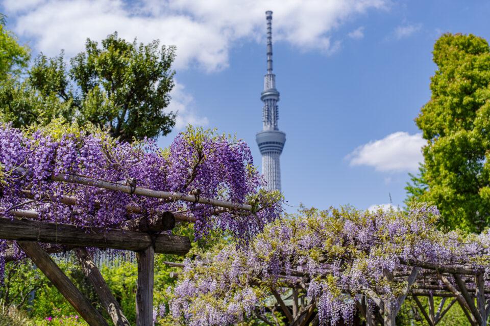 亀戸天神の藤と東京スカイツリー
