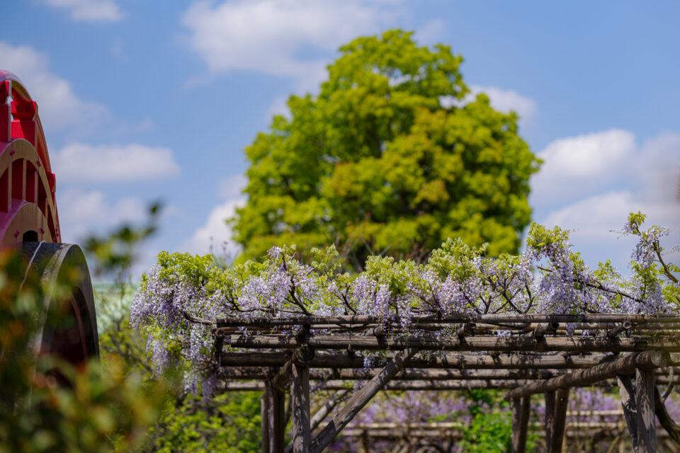 亀戸天神の藤棚と大樟