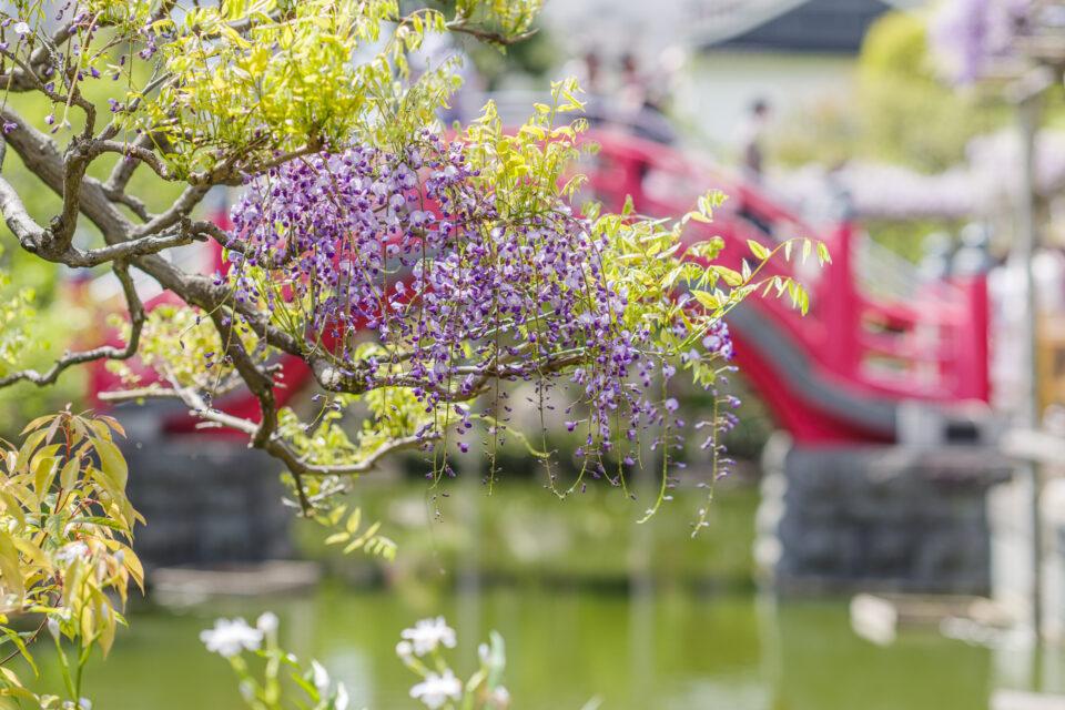 亀戸天神の藤と赤い太鼓橋