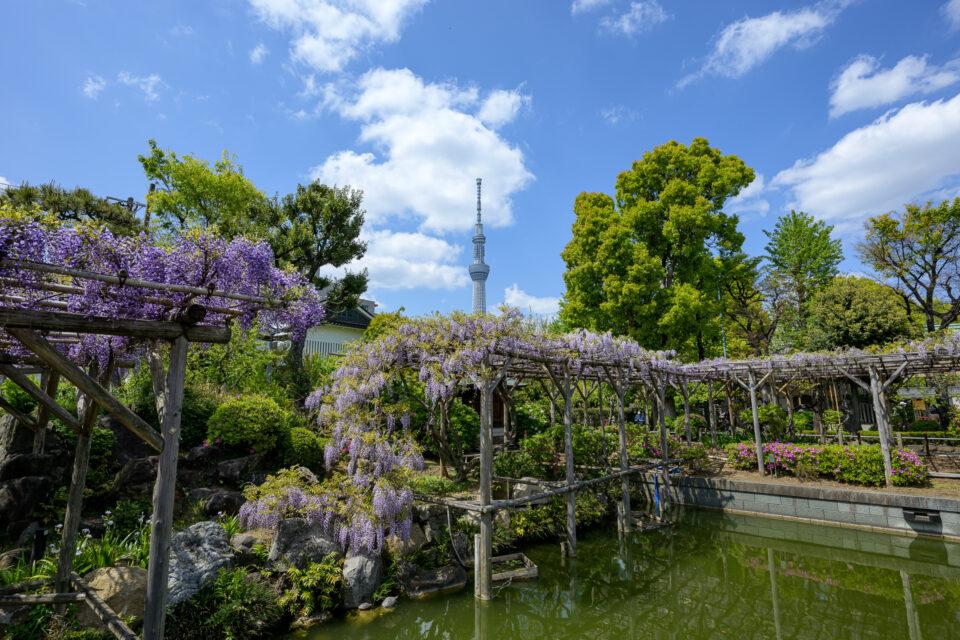 亀戸天神の藤棚と池と東京スカイツリー