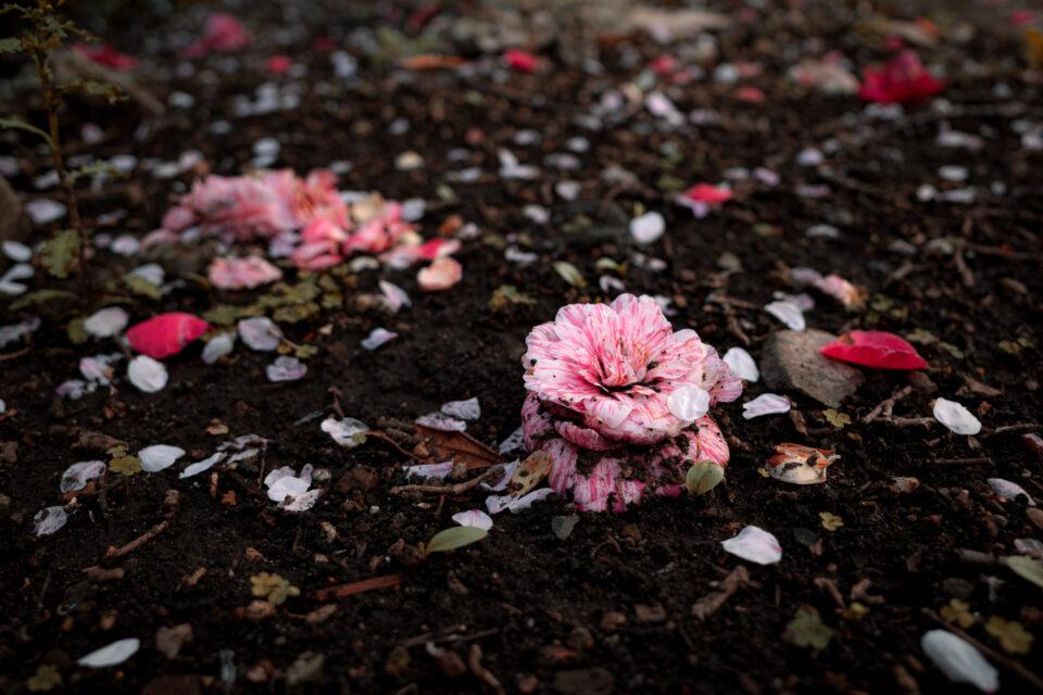 落ちた椿と散った桜
