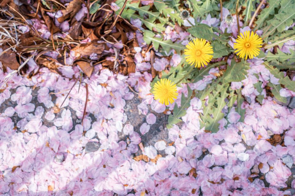タンポポと散った桜
