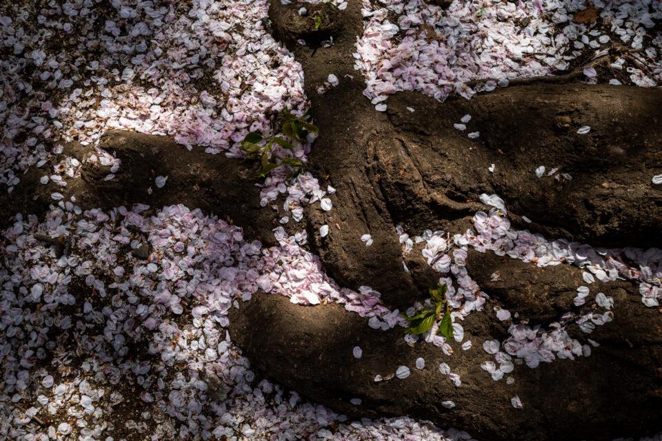 桜の根と落ちた花びら