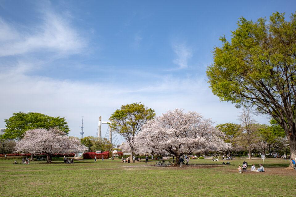 木場公園の広場の桜