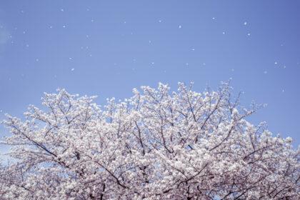 木場公園の桜 by GR3