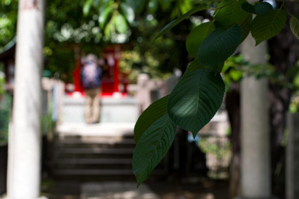 神社の桜の葉