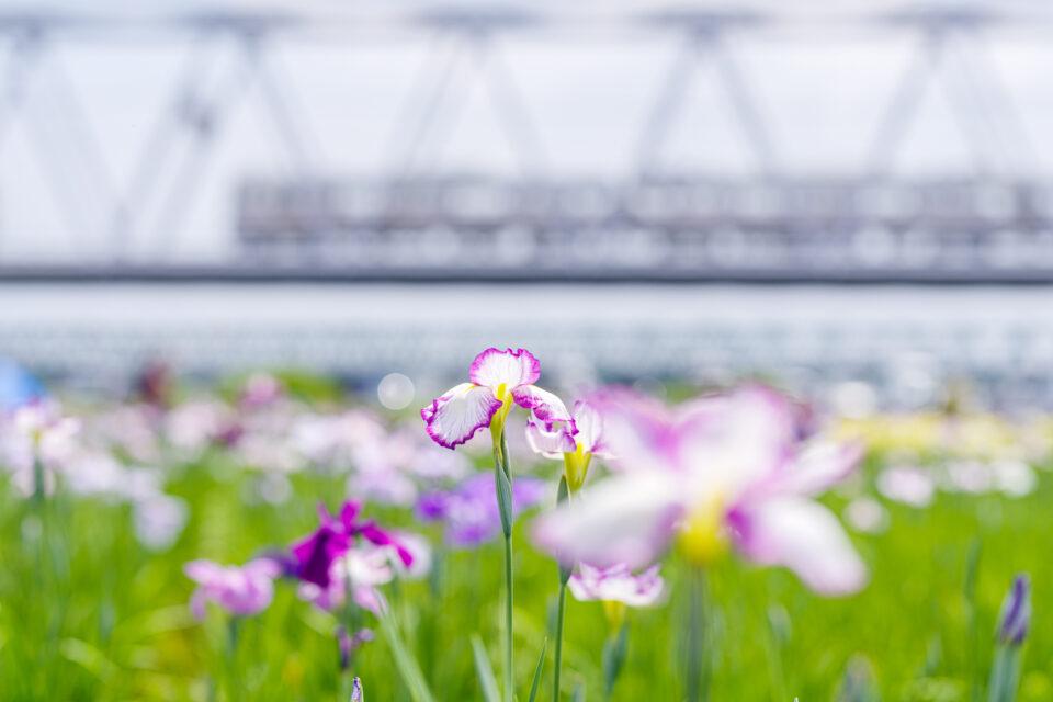 花菖蒲と鉄橋