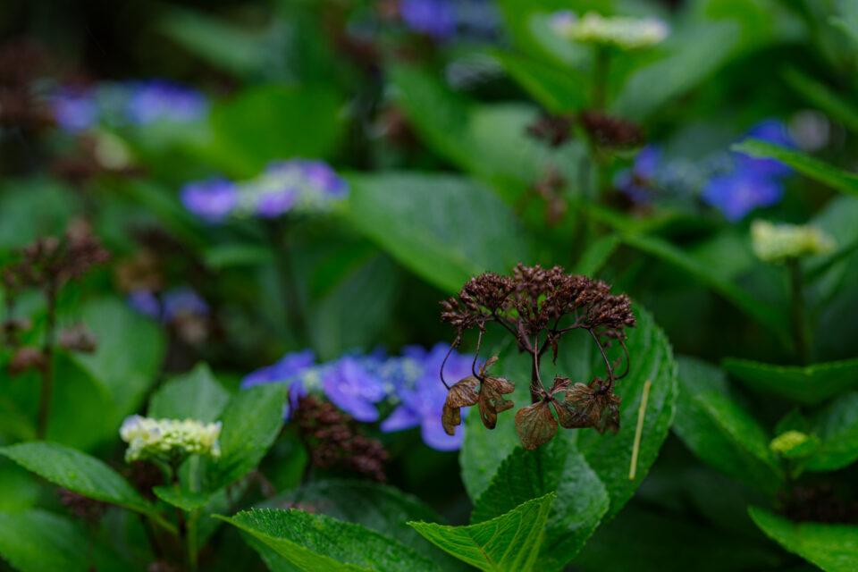 枯れた額紫陽花