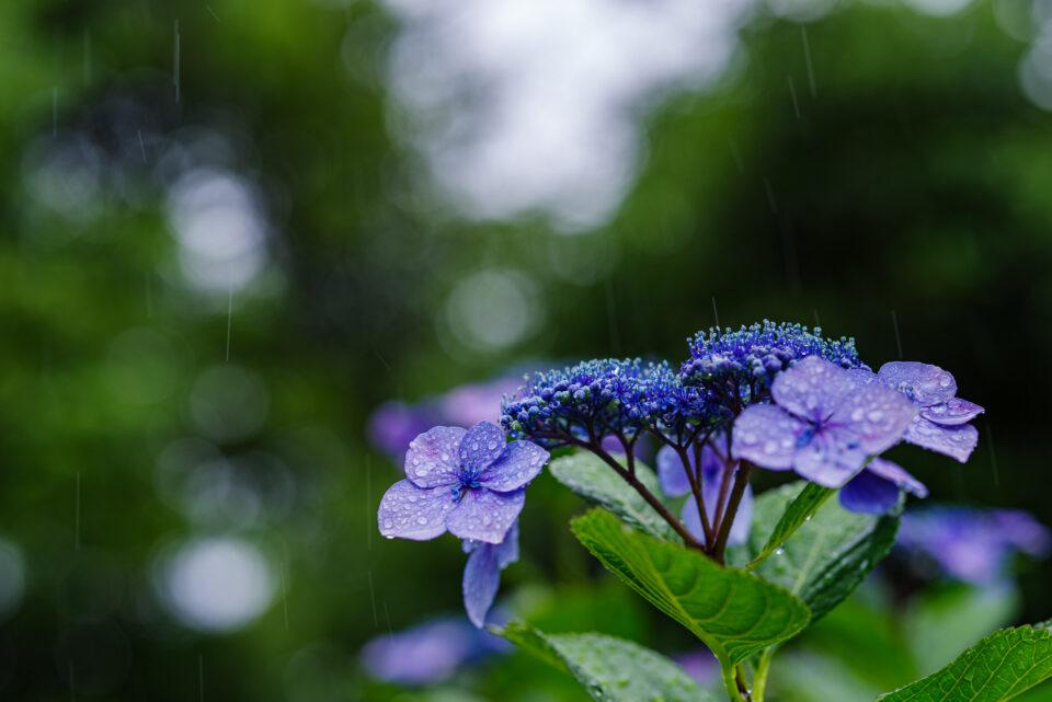 雨の中の額紫陽花