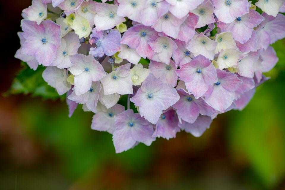 淡いピンクの紫陽花マクロ