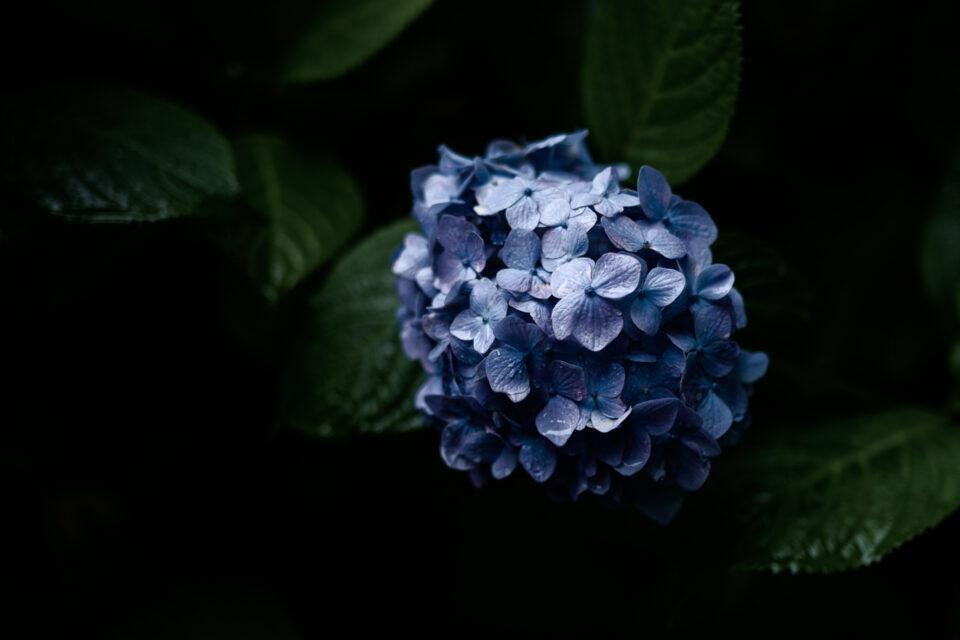 青い紫陽花ローキー