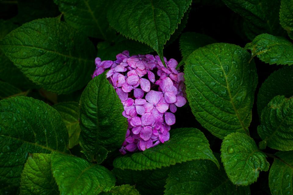 雨の赤い紫陽花
