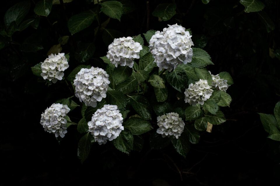 白い紫陽花ローキー