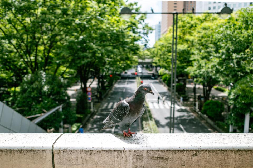 西新宿のハト
