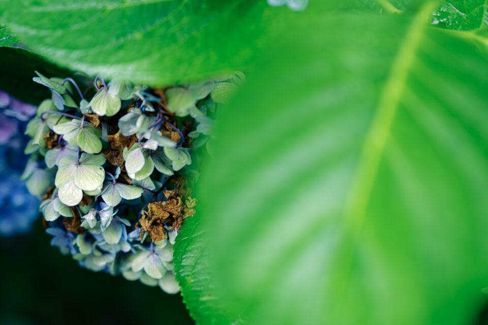 葉っぱから覗くヴィンテージ紫陽花