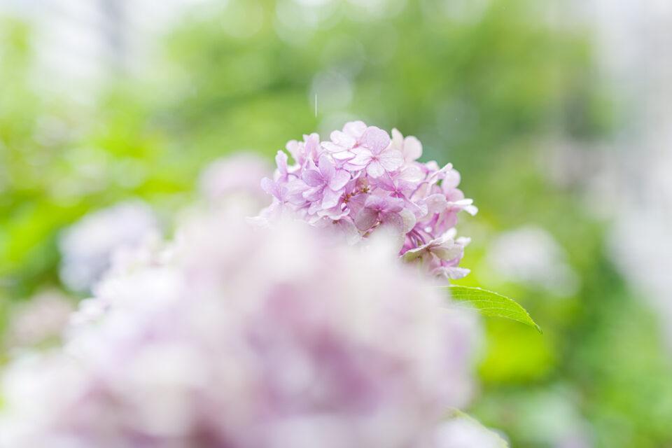 ほのか風ヴィンテージ紫陽花