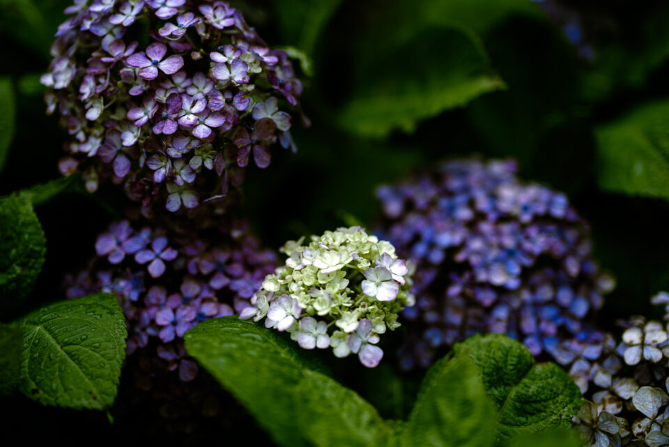 ヴィンテージに囲まれた若い紫陽花