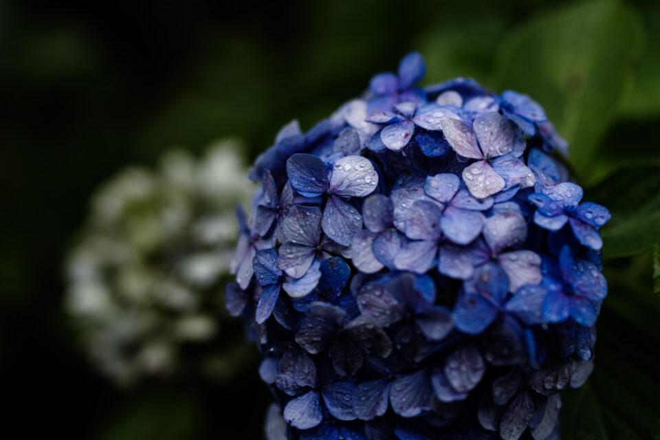 雨の青いヴィンテージ紫陽花
