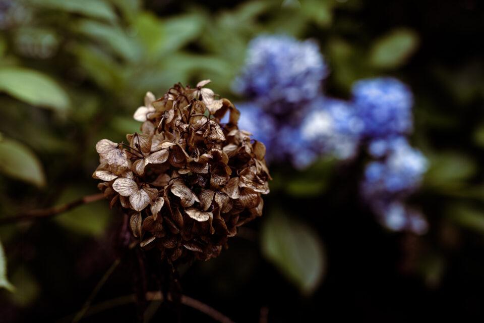 カラカラに枯れたヴィンテージ紫陽花