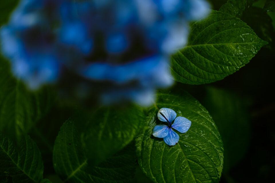 落ちた額紫陽花
