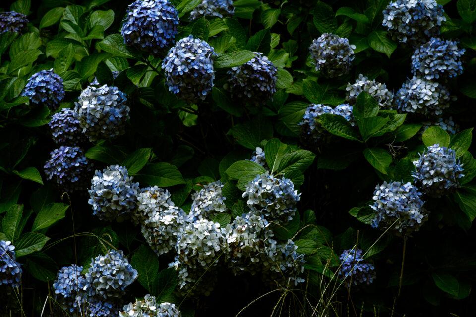ヴィンテージ紫陽花
