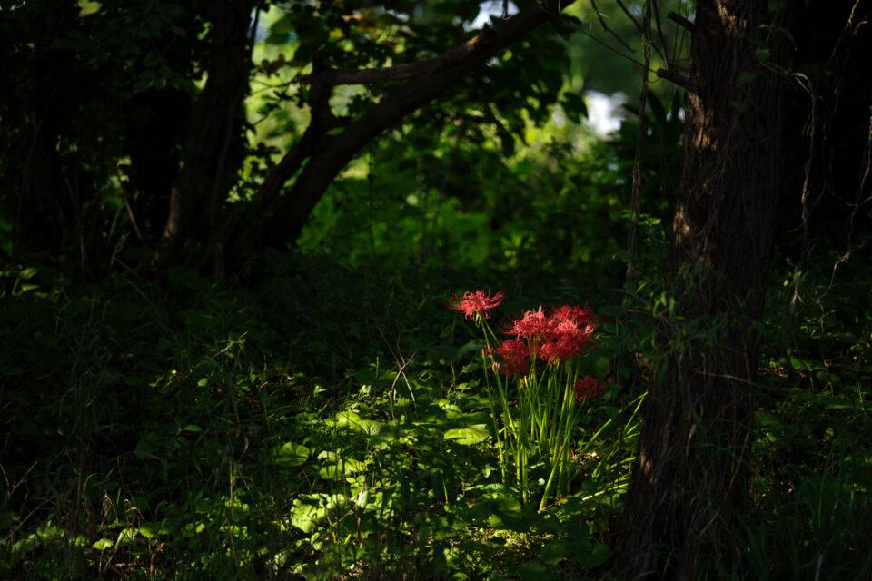 土手に咲く彼岸花