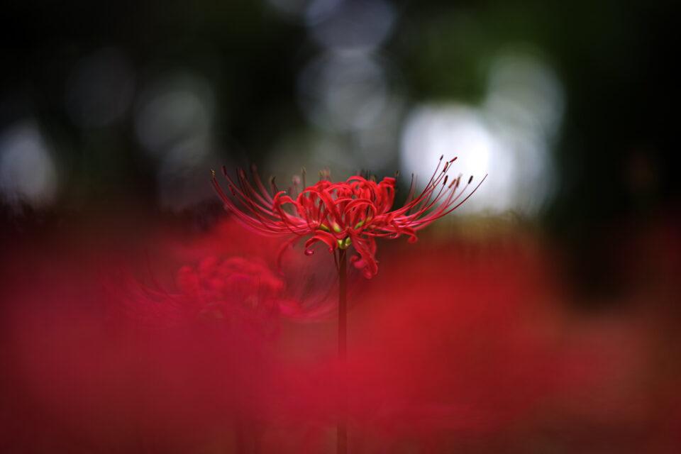 赤いボケの中に浮かぶ彼岸花