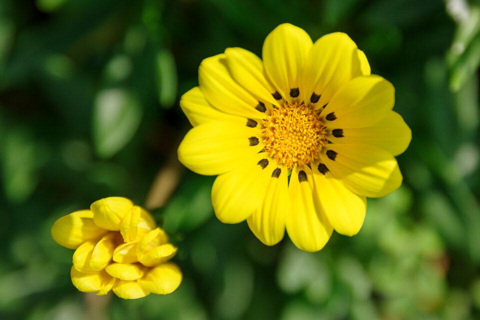 黄色いガザニア