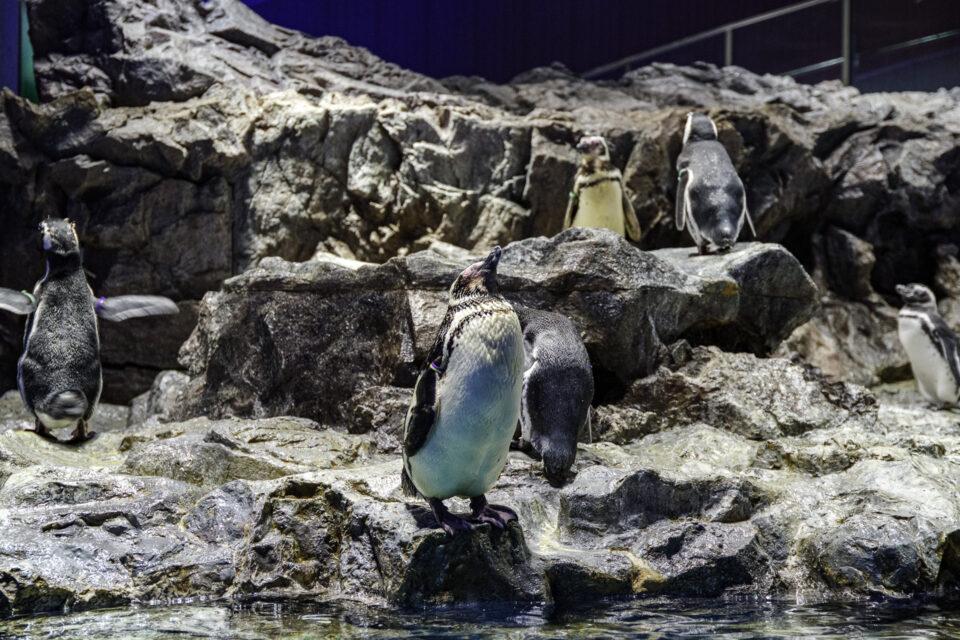 岩場に仁王立ちするペンギン